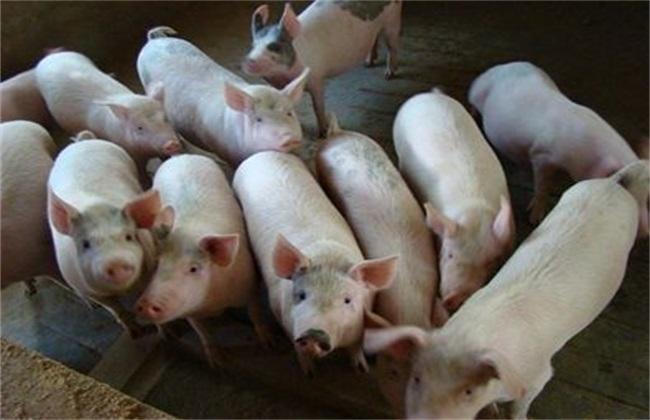 猪瘟 原因 流行