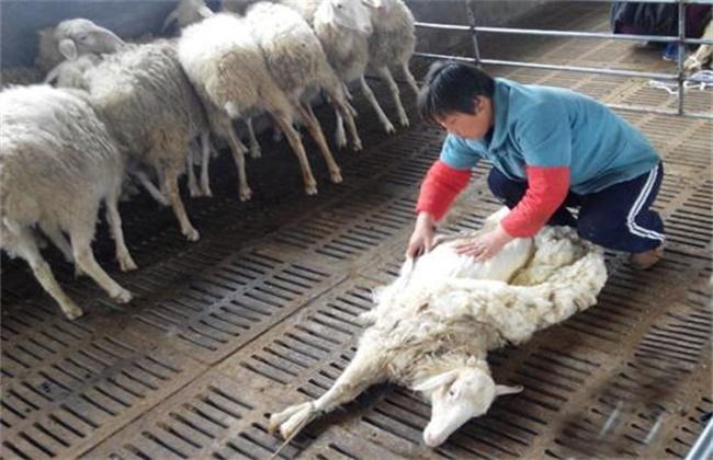 绵羊剪毛注意事项