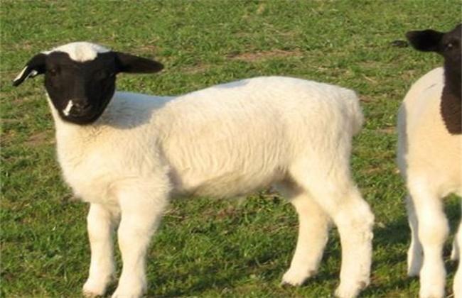 绵羊养殖注意事项