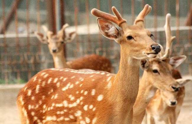 梅花鹿 常见疾病 防治