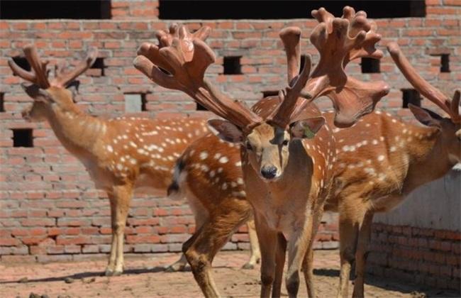 比较好养的几种梅花鹿