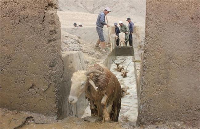 绵羊药浴方法及注意事项