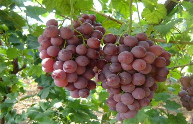 巨峰葡萄 种植 方法