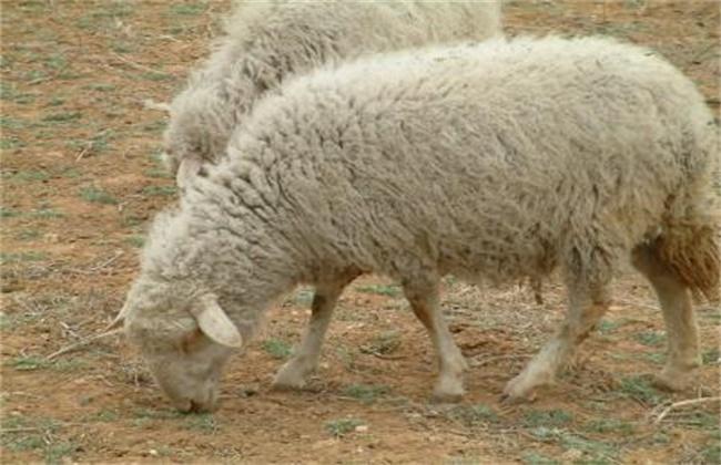 绵羊养殖育肥技术