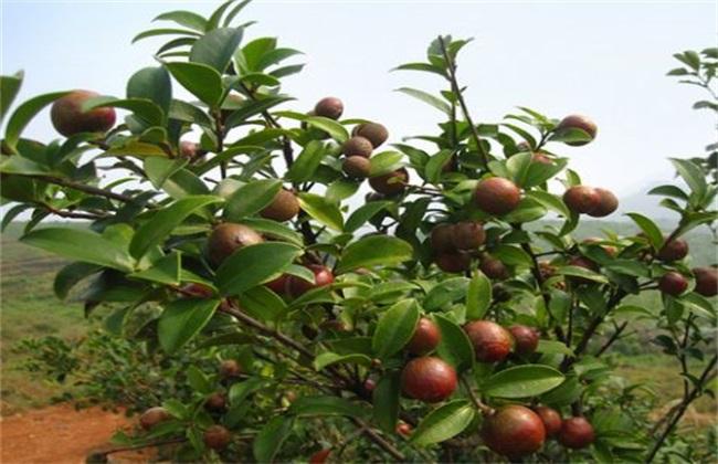 油茶树的种植方法