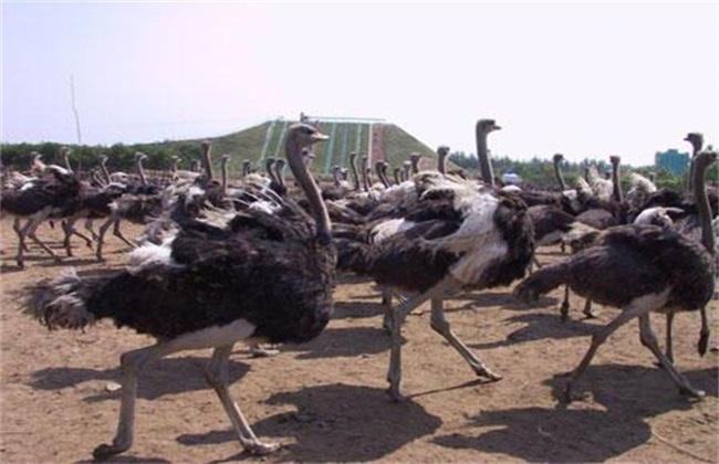 鸵鸟养殖的注意事项