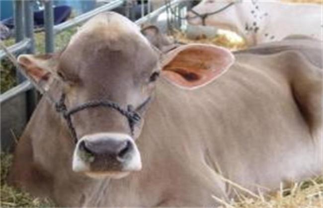 母牛产后注意事项