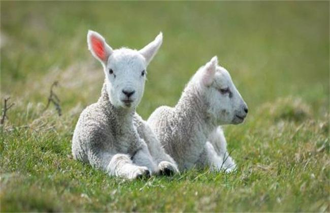 初生的羊羔如何饲养