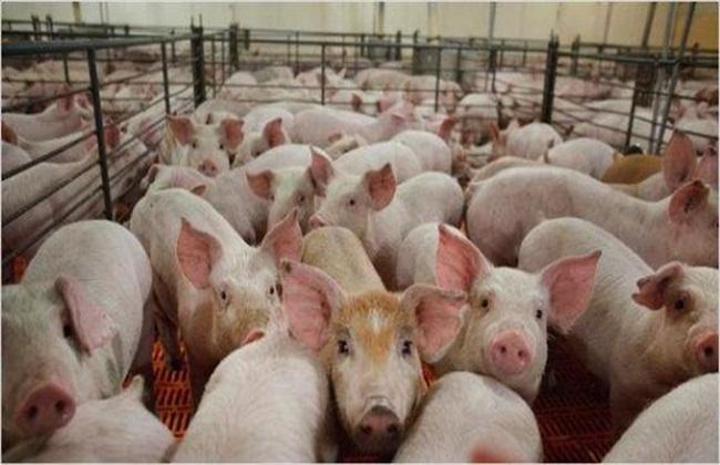 保定生态猪散养