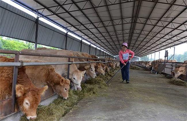 养牛常见的用药注意事项