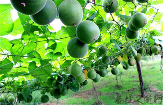 罗汉果 种植 方法