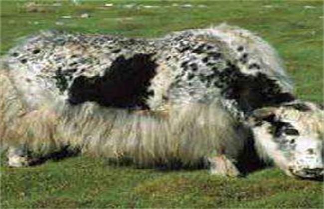 牛瘟的症状及防治方法
