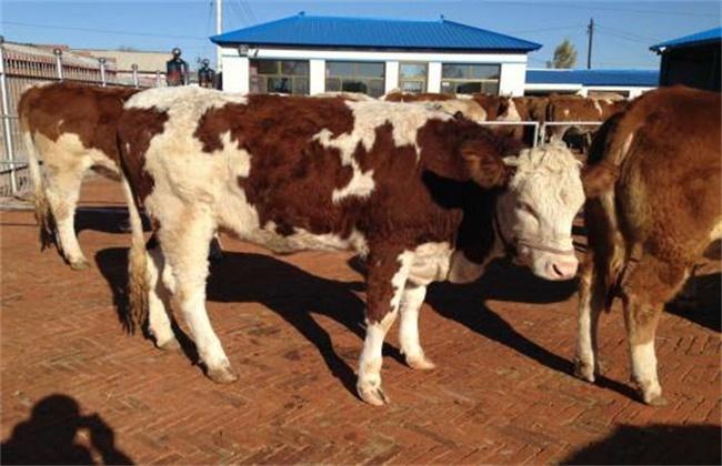 母牛妊娠期的饲养管理技术