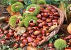 板栗的常见病虫害及防治