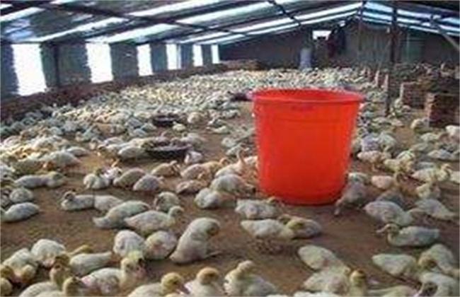 養雞:大棚養鴨技術要點介紹