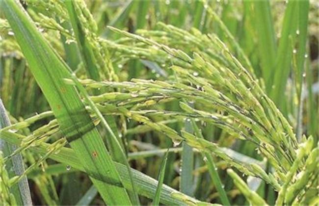 水稻早穗的原因及防治方法