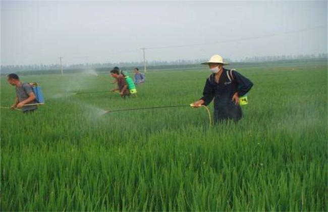 水稻拔节长穗期的田间管理技术