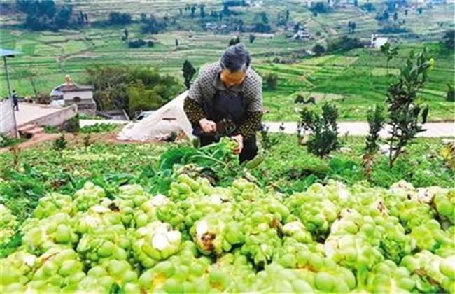 栽培 技术 榨菜