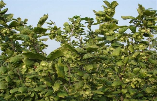 种植技术 榛子 高产