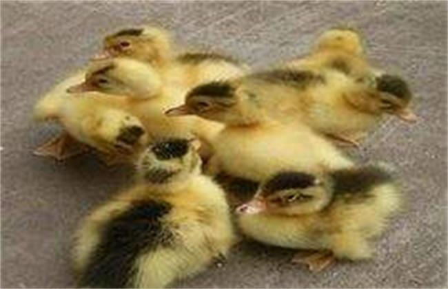鸭流行性感冒