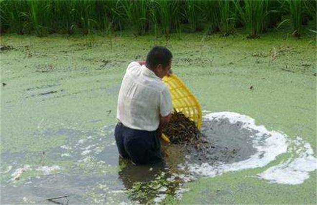 泥鳅养殖注意事项