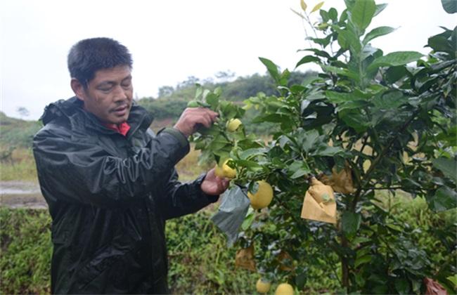果园 柠檬 管理技术