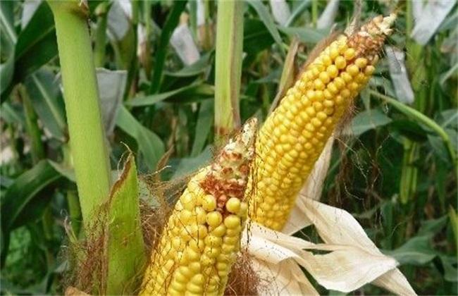 畸形 玉米 原因