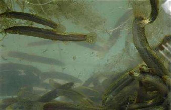 泥鳅常见的几种养殖模式