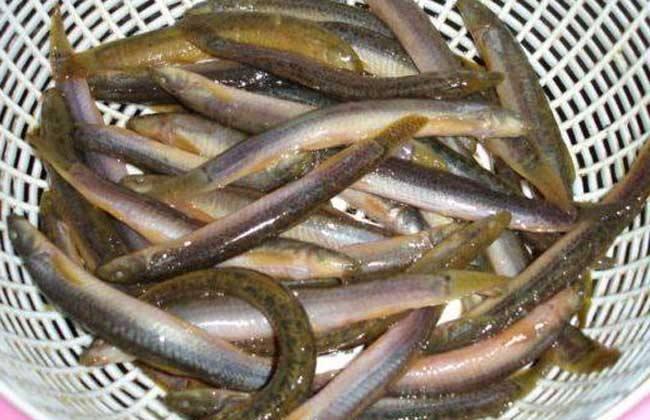 泥鳅常见的几种暂养方法