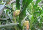 影响玉米畸形的原因