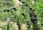 黑枸杞该怎么种植