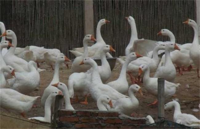 冬季养鹅注意事项