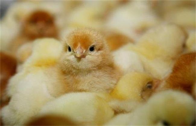 雏鸡冬季注意事项