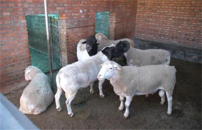 如何提高羔羊存活率
