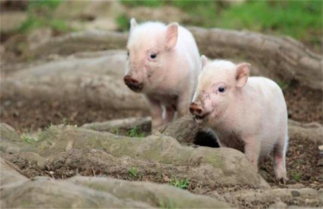 仔猪假死的原因及急救方法