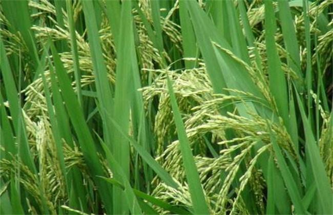 水稻抽穗杨花期管理技术