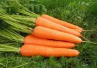 早春胡萝卜的田间管理