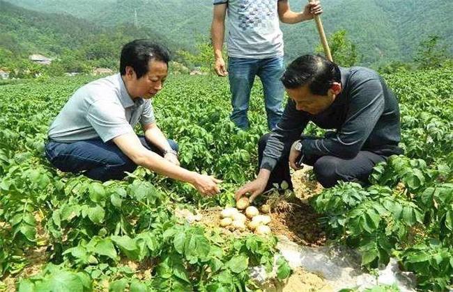 马铃薯产量低的原因及解决方法