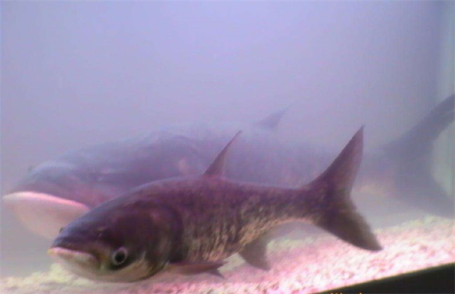 花鲢鱼 养殖 方法