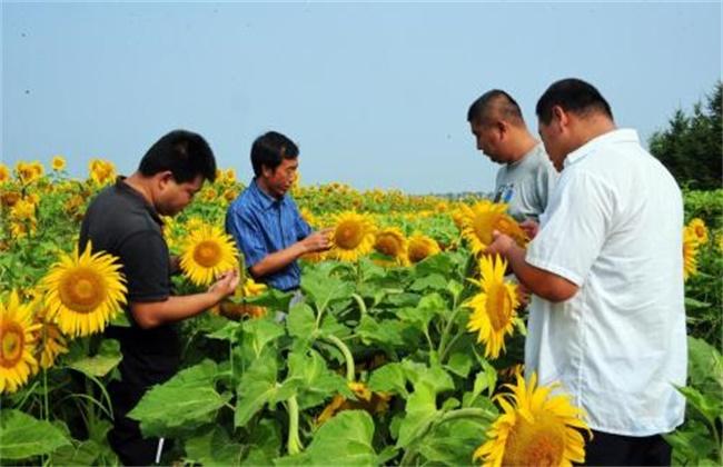 向日葵种植技术
