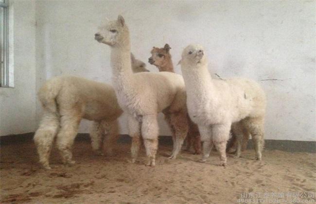 养殖羊驼的注意事项