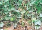 冬瓜早衰的原因及预防措施