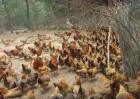 虫子鸡的养殖方法