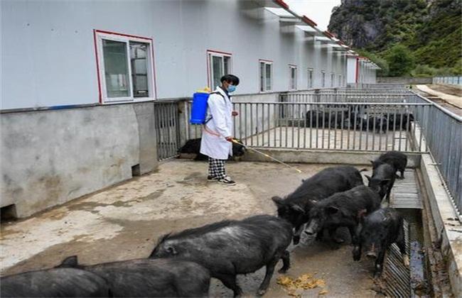 猪圈消毒要注意的问题