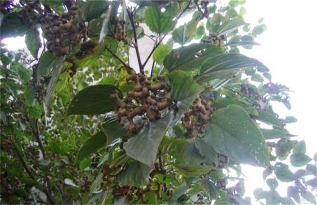 拐枣树种植前景