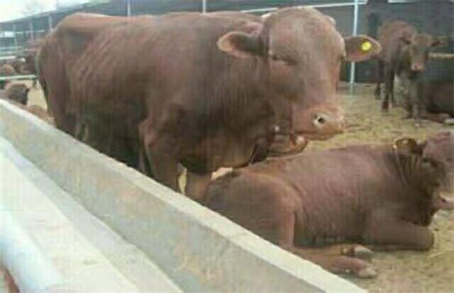 肉牛的中暑的原因、症状及防治方法
