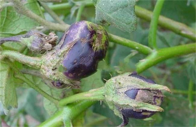 茄子僵果的原因及防治方法