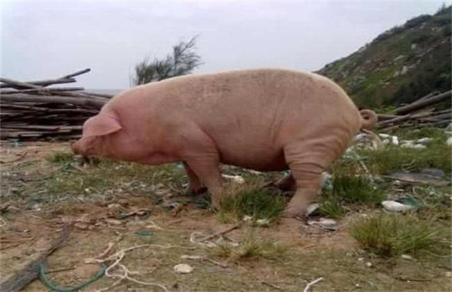 猪到处排泄怎么办