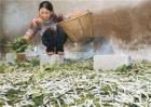 秋蚕养殖技术