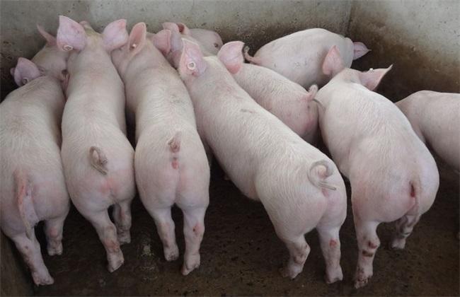 水灾 怎么办 养猪